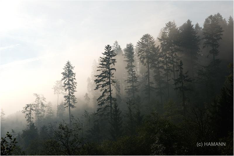 утренний карпатский лес